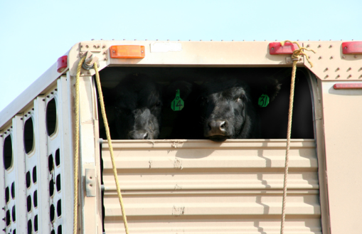 Calves from the TRH Ranch, north of Lance Creek, Wyo. They are being hauled a short distance to the ranch headquarters after being weaned on the opposite side of the place.