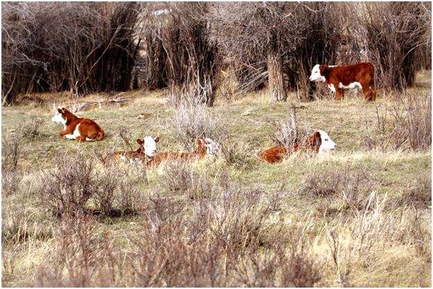 Hereford calves rest in the sunshine during calving season in Sublette County Wyoming.
