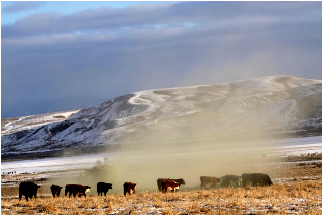 Cattle feeding on hay fed by ranchers during winter in Wyoming