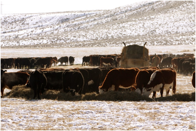 Cattle feeding on hay supplied by ranchers in the Wyoming winter