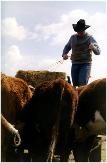 Feeding cattle in Sublette County Wyoming to humanely care for animals and livestock.
