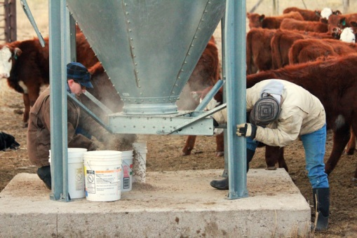 Feedling cake to cattle. Cake is a concentrated feed supplement ranchers use to feed their livestock when grazing is not available.