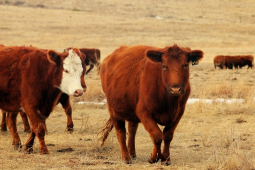 Ranchers move cattle to different locations throughout the year to utilize all possible grazing opportunities