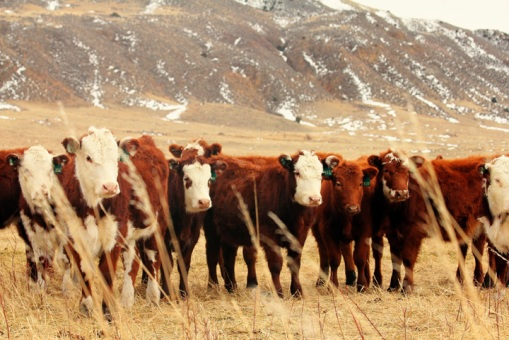 When pasture grass runs low for their cattle, ranchers must find supplemental feed or move to different grazing locations