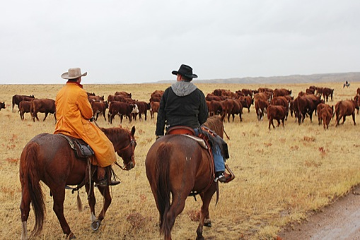 Cowboys on horseback trail their cattle in Wyoming.