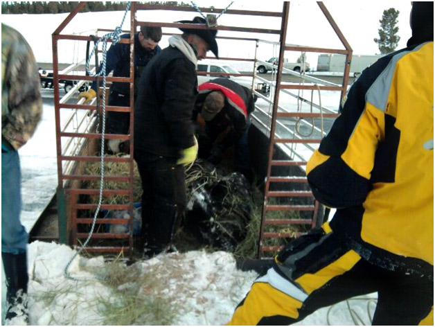 RealRanchers Jim and Timmery Hellyer rescue a stray cow from the mountains in Wyoming using snowmachines