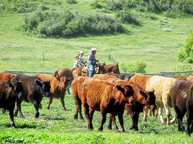Ranching family in Sheridan, Wyoming moving cattle to properly manage rangeland health. Cattle production makes up 61% of Wyoming's ag economy. Crystal Lawrence Photo.
