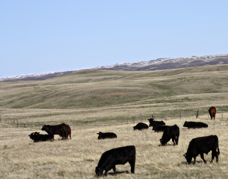 The sun shone after a spring snow storm and melted the Wyoming snow away revealing green grass for Angus cattle to graze