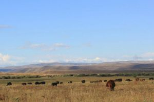 Teichert Angus on the Wyoming Angus Tour