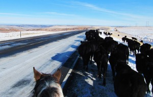 Trailing cattle along the road