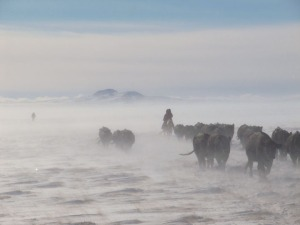 Gathering cattle in the blowing snow in Wyoming