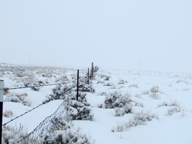 Trapping coyotes in Wyoming to reduce predator losses in cattle herd.