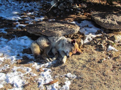 Ranchers trap, kill and skin the coyote. The coyote hides are then sold.