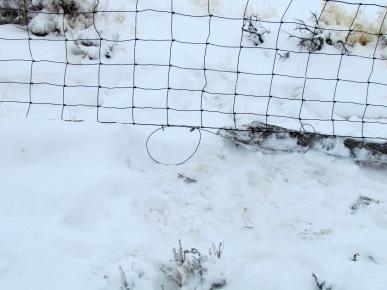 The snares trap coyotes crawling through the fence