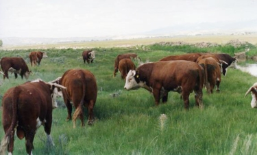 RealRancher Jonita Sommers talks about working with Hereford bulls in Wyoming