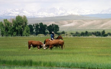 These Hereford bulls fight with each other in Pinedale, WY while Dan Metz moves them to where they're supposed to be.