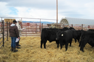 RealRanchers Rob & Carla Crofts look at bulls for sale by Redland Angus at Buffalo Livestock Auction in Wyoming. Ranchers buy new bulls to improve genetics in their herds.