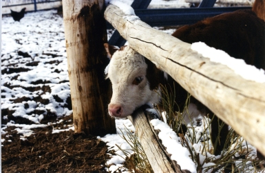 RealRancher Jonita Sommers tells the story of bum calf Gertie. Here she's sticking her head through the pole fence.