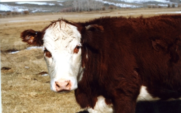 RealRancher Jonita Sommers tells the story of caring for bum calf Gertie. Here she is all grown up.