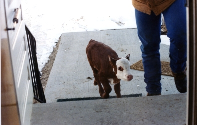 RealRancher Jonita Sommers tells the story of taking care of bum calf Gertie. She stayed in the house until she was strong enough to be outdoors.