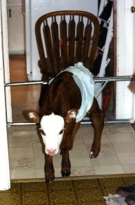 Bum calf Gertie stands in the utility room wearing a diaper to control the mess.