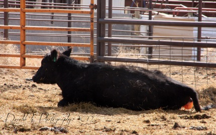 RealRancher Heather Hamilton talks about pulling calves during calving season in Wyoming