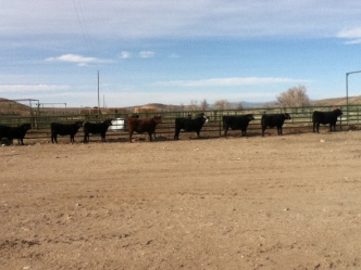 RealRancher Katie Keith discusses the importance of preparing her cows for the show ring
