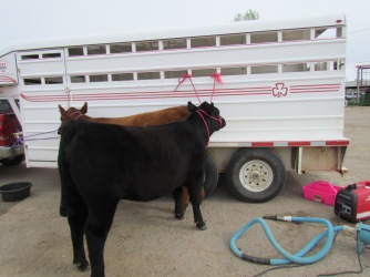 RealRancher Katie Keith discusses preparing her cattle for the show ring. Her cattle are tied to the trailer as she gives them a bath and a haircut.