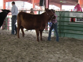 RealRancher Katie Keith sets up her cattle in the show ring.