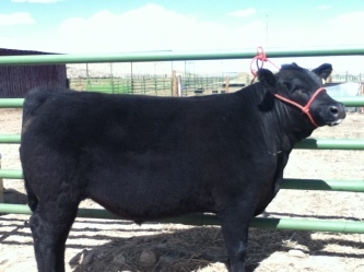 RealRancher Katie Keith shows off her handy work with getting a cow ready for the show ring.