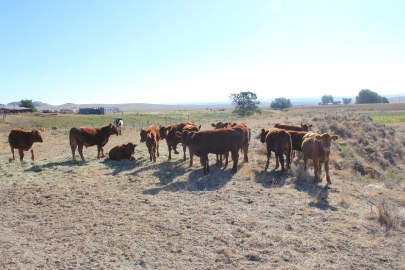 Calves waiting for water on the Mackey Ranch