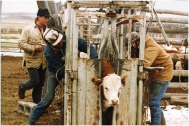 Jamie Swain and Albert Sommers vaccinating and Charles Price putting a pour-on parasite control on a calf.Ranchers in the Green River Valley of Wyoming work together to perform fall cow work, which includes vaccinations.