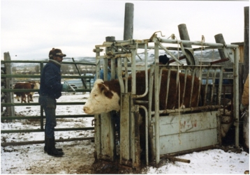 Cattle are pregancy checked to ensure they will have a calf for the ranchers of the Green River Valley in Wyoming.