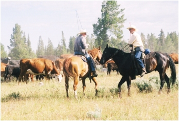 Ranchers move their cattle to public lands allotments to graze in Western Wyoming.