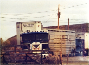 Semi trucks are used to haul beef cattle to the feedlot
