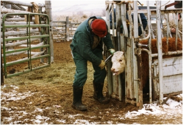 Vern Aultmn, DVM, putting on brucellosis tag during fall cow work in the Green River Valley of Wyoming