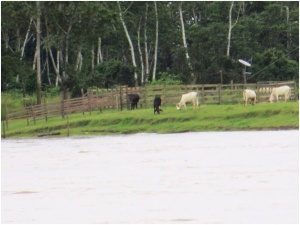 Cattle along the Amazon River near Manaus, Brazil