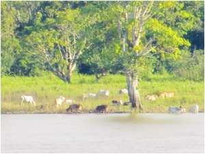 Cattle along the Amazon River near Parintin, Brazil