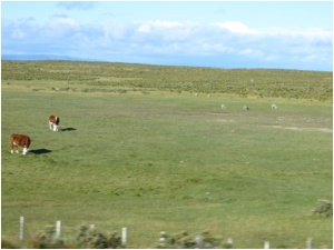 Cattle and sheep on range outside Punta Arenas, Chile