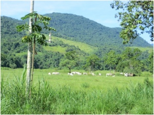 Cattle near Paraty, Brazil