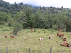 Cattle on northern Patagonia near Puerto Chacabuco, Chile