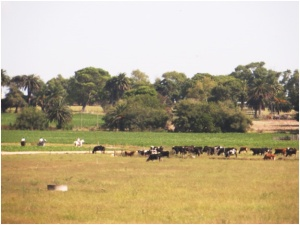 Dairy cows on estancia near Montevideo, Uruguay