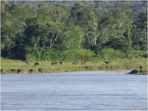 Horses along the Amazon River near Parintin, Brazil