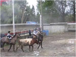 Ranch rodeo at cattle rancho near Puerto Montt, Chile