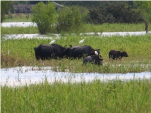 Water buffalo along Amazon River near Santarem, Brazil