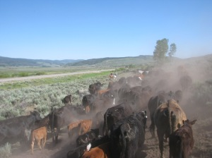 We moved cow/calf pairs, some yearlings and bulls on a beautiful July day.