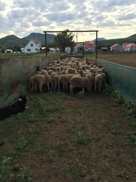 week 6 sheep