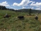 Escape Cows