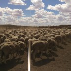 Jedidiah learns about commercial sheep production